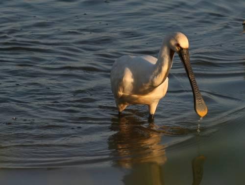spatule blanche oiseau migrateur marais d'Orx - blog Camille In Bordeaux