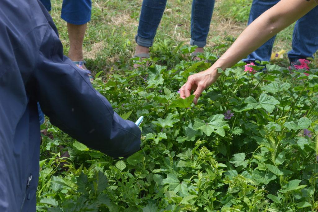découverte des plantes sauvages ICARE