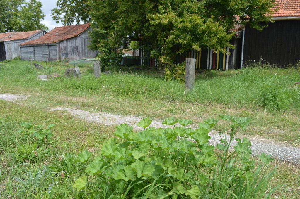 découverte plantes sauvages La Teste de Buch avec ICARE et le département de la Gironde