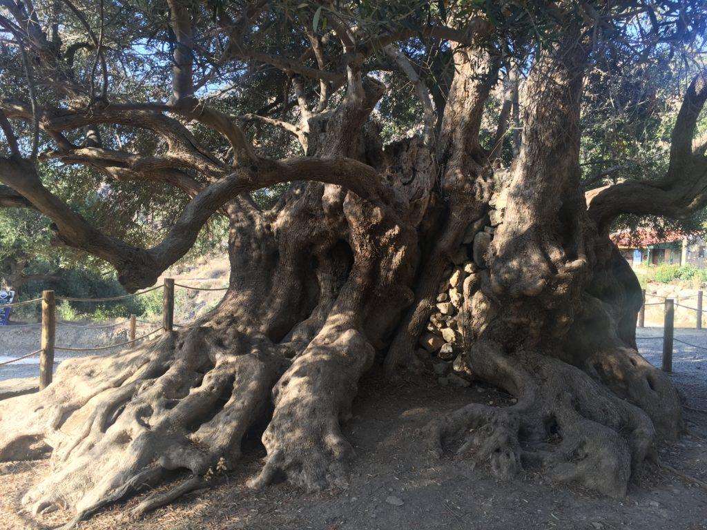 plus gros olivier du monde et plus vieil olivier du monde